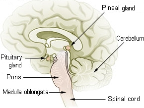 Pituitary & Pineal