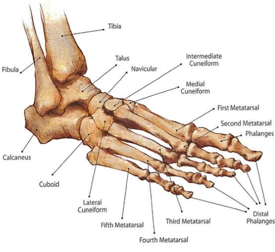 Ankle Foot Bony Anatomy