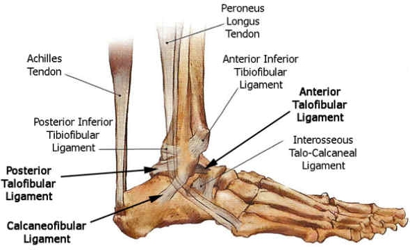 Ankle Foot Ligament Anatomy