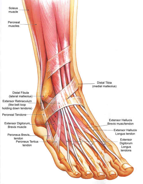 Ankle Foot dorsal muscle-tendon Anatomy