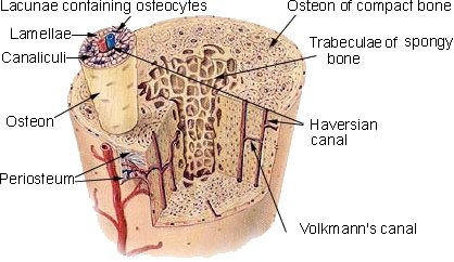 Osseous Tissues Bone Supportive Connective Tissues Connective Tissues Tissues Wellness Advocate Com