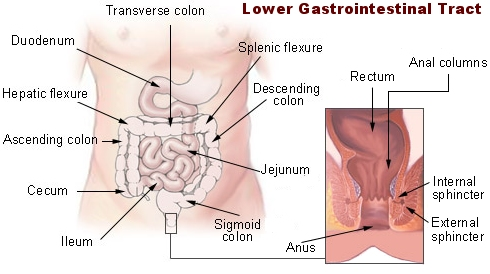 Lower Gastrointestinal Tract < Digestive Tract (Gastrointestinal ...