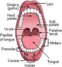 Palate (Mouth Roof) < Oral Cavity << Head Region (Cephalic Region ...