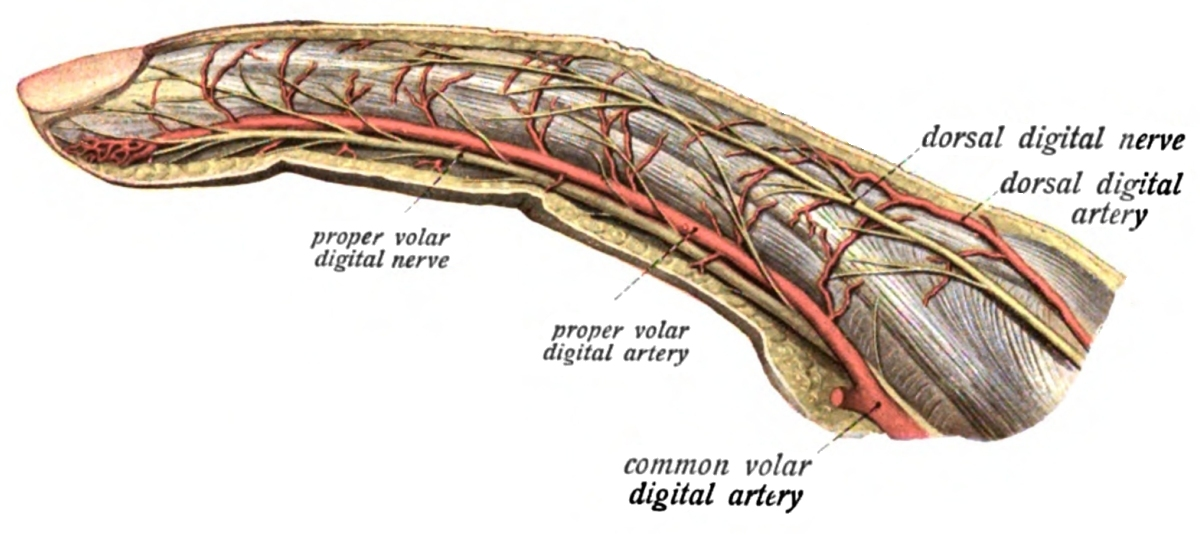 Palmar Digital Arteries Common Palmar Digital Arteries